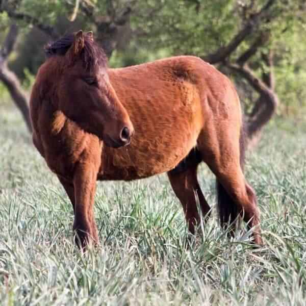 Cavallino della Giara tra gli asfodeli
