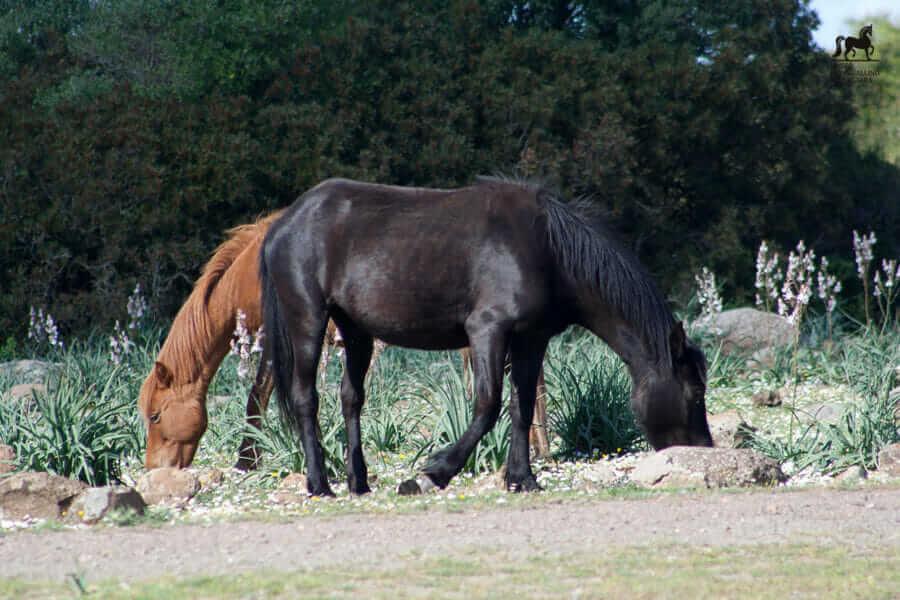 Una coppia di cavalli sulla Giara di Gesturi al pascolo