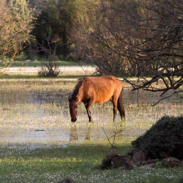 Cavallo nel paulis